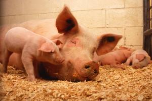 Ministerstwo Rolnictwa ułatwia skup wieprzowiny na obszarach ASF