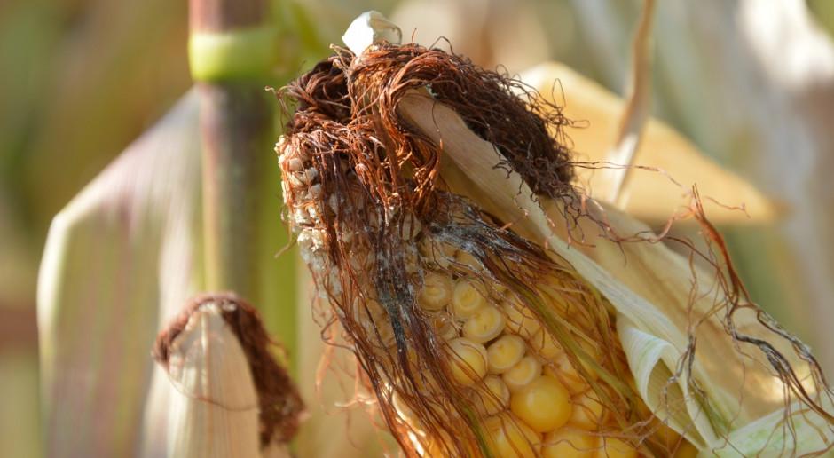 Fuzarioza kolb kukurydzy zaatakowała