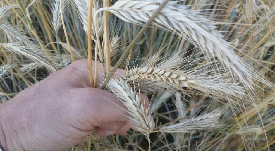 Żyto: Łan zróżnicowany suszą, za chwilę żniwa