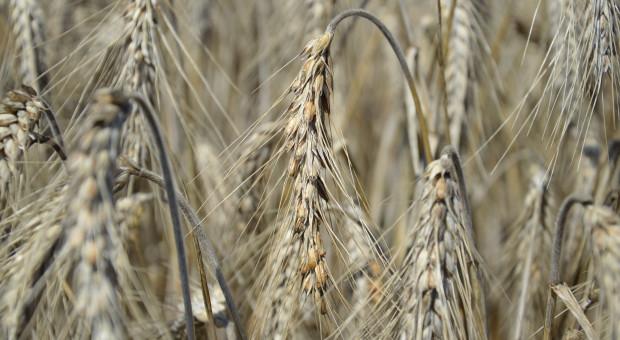 Może zabraknąć kwalifikowanego ziarna siewnego pszenżyta ozimego
