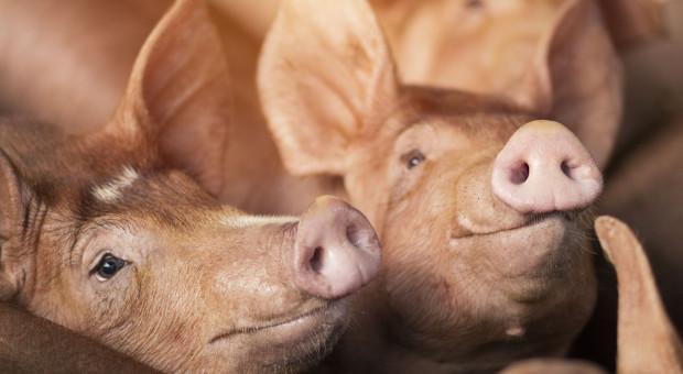 Świnie w Hruszowie jednak chorowały na ASF?