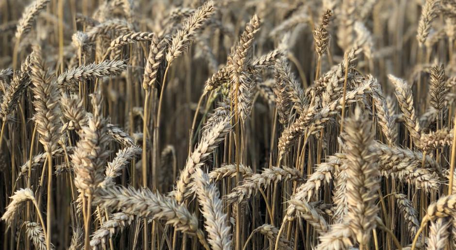 Raport ze skupów - pszenica konsumpcyjna drożeje
