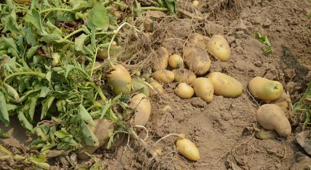 Rosja: Do 30 lipca zebrano 39,4 mln ton zbóż i bobowatych