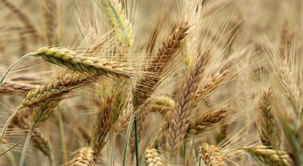Jakość ziarna zbóż paszowych może okazać się bardzo niska