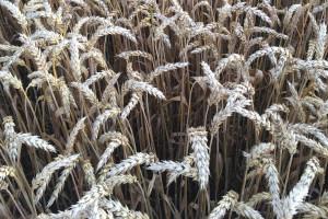 Suchy rok – mniej chorób w pszenicy ozimej