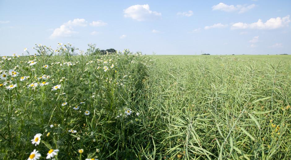 Strategie herbicydowe w rzepaku ozimym