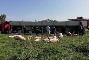 Większość tuczników z transportu nie przeżyła kraksy.  Foto: OSP Stary Laskowiec