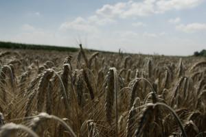 Duży problem z pszenżytem ozimym