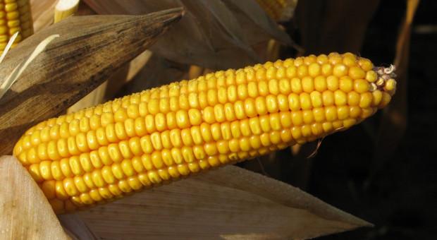 PIORiN skontroluje ewentualne uprawy GMO