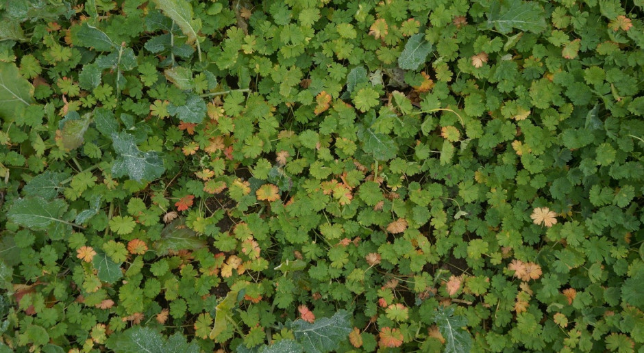 Jak poradzić sobie w rzepaku z bodziszkami, fiołkiem i farbownikiem, czyli  Jan Zatroskany i jesienna ochrona herbicydowa