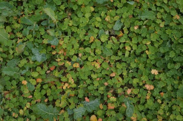 Fot. 1 Bodziszek całkowicie zagłuszył rzepak mimo ochrony herbicydowej