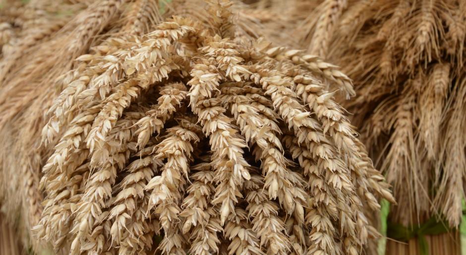 Topowe odmiany zbóż ozimych
