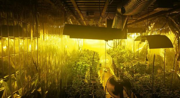 Marihuana z podziemnej plantacji i ogrodniczych szklarni