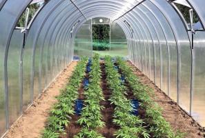 Pod Sierpcem konopie indyjskie uprawiane były w dwóch szklarniach ogrodniczych.