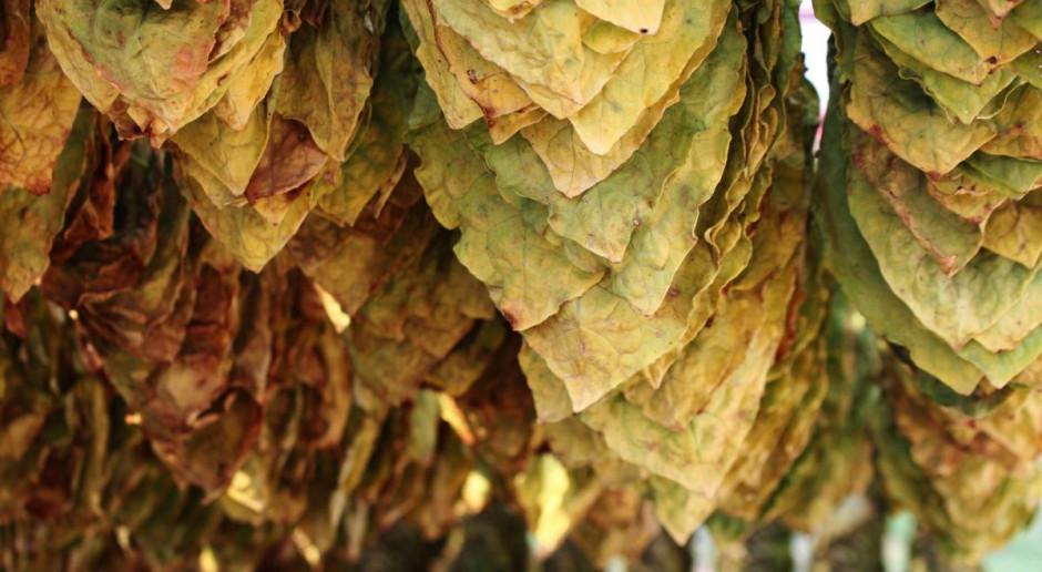 Trwa zbiór tytoniu – jakie będą plony