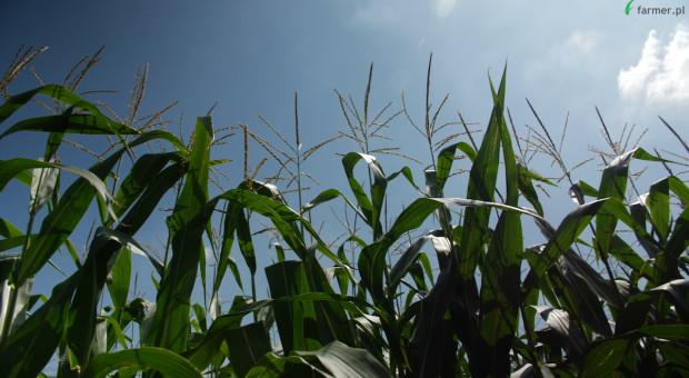 Kukurydza nie sypnie ziarnem