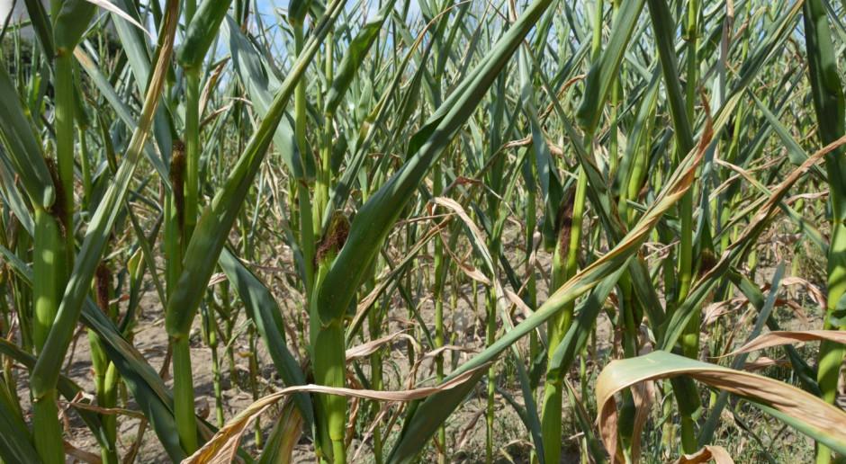 Stan plantacji kukurydzy
