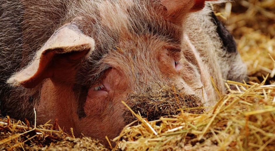 Czy ASF w Chinach odwróci tendencje na rynku wieprzowiny?