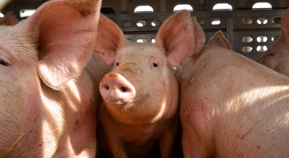 UE: Cen świń rzeźnych zaczynają rosnąć