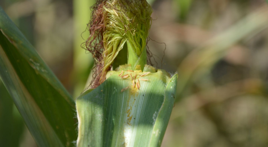 Upał obniża żywotność pyłku kukurydzy