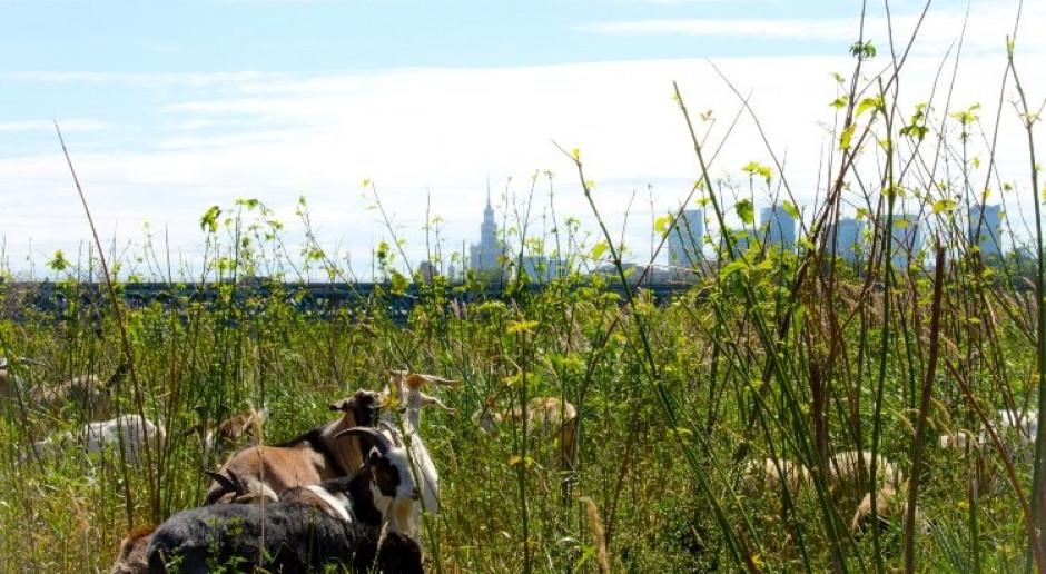 Warszawskie kozy i owce nad Wisłą