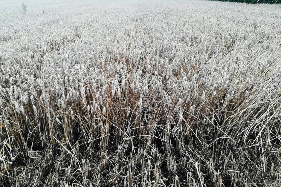 Stan plantacji w czasie żniw