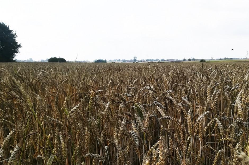Po nawalnych deszczach kłosy zaczęły nieco ciemnieć od czerni zbóż