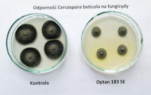Wzrost grzybni Cercospora beticola na pożywce wolnej od fungicydów (kontrola) i na pożywce zawierającej preparat Optam 183 SE w ilości odpowiadającej stosowanej w warunkach polowych