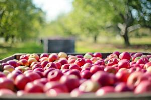 UE: Największe zbiory jabłek od 10 lat
