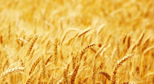 USDA: Mniejsza światowa prognoza produkcji pszenicy i zbóż paszowych