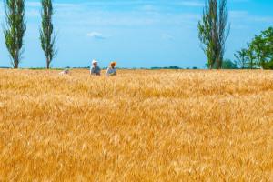 Ukraina: Zebrano 33 mln ton zbóż i bobowatych