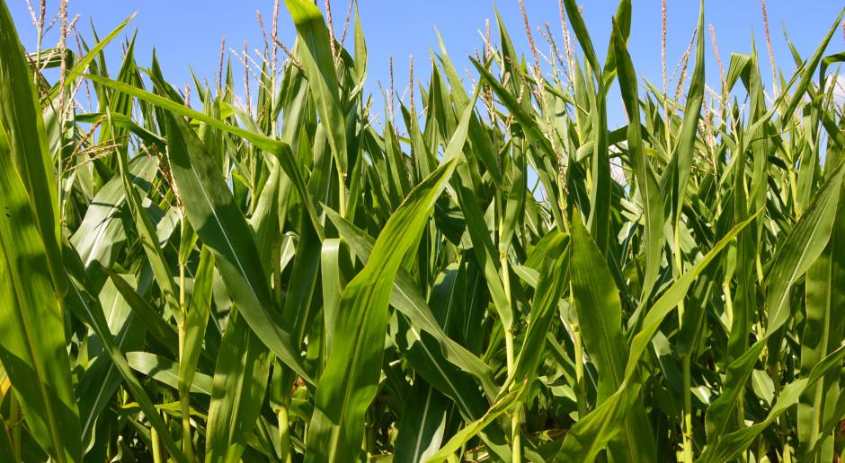 Uprawy kukurydzy są pomijane w trakcie oceny strat suszowych