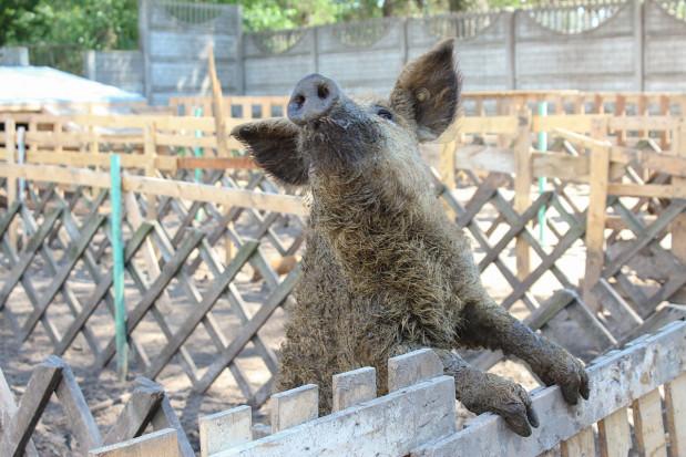 Wolne świnie z czerwonej strefy