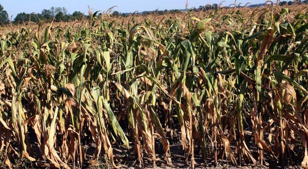 Lubuskie: Rolnicy domagają się pomocy za straty w uprawach kukurydzy i buraków cukrowych