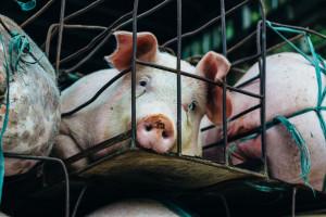 Drugie ognisko ASF w Chinach, chore świnie padły w ubojni