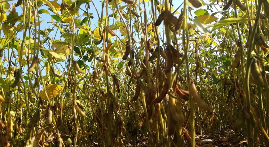 Blog: Soja gubi liście, powoli kończy wegetację