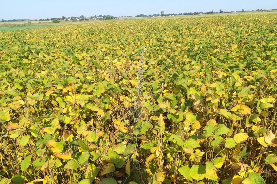 Wysokie temperatury sprzyjają dojrzewaniu soi, stan na 17.08 br.