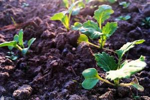Na opóźniony siew rzepaku wybieraj odmiany o silnym jesiennym wigorze