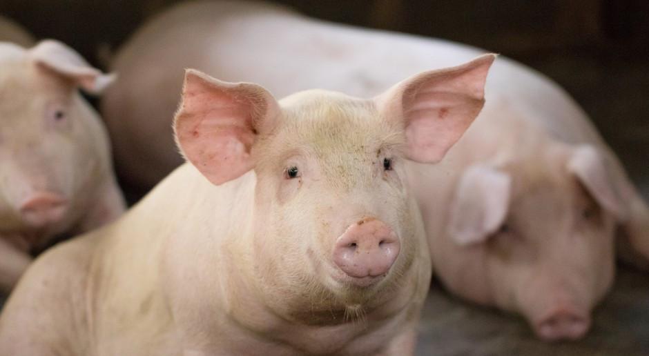 UE: Ceny świń rzeźnych nadal rosną
