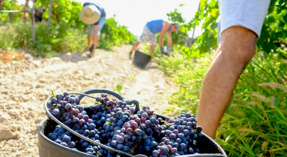 Zachodniopomorskie: Rekordowo wczesne zbiory winogron