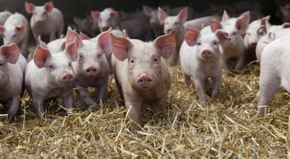 Coraz więcej niemieckich producentów prosiąt chce zaniechać produkcji
