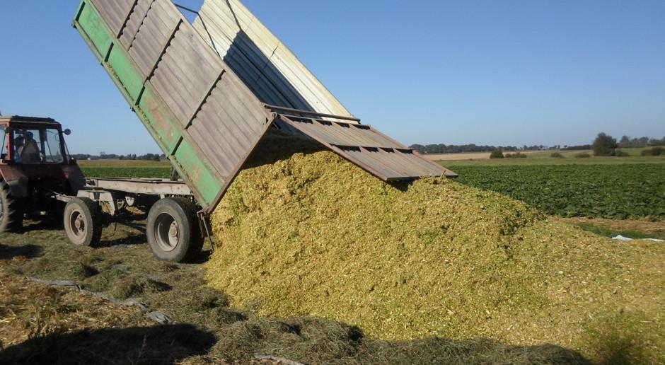 Nie opóźniać terminu zbioru kukurydzy na kiszonkę