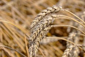 Polecane odmiany pszenicy ozimej