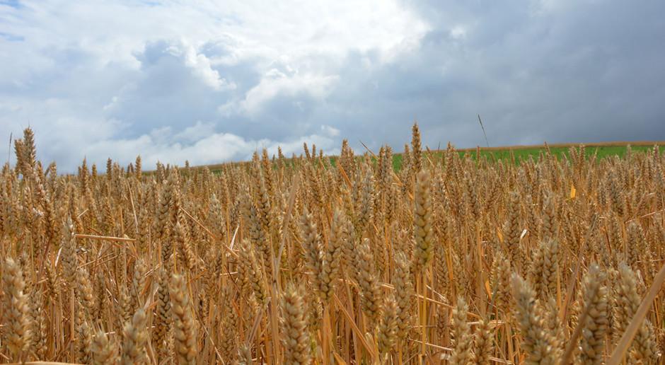 Reakcja odmian pszenicy ozimej na zróżnicowane warunki glebowe