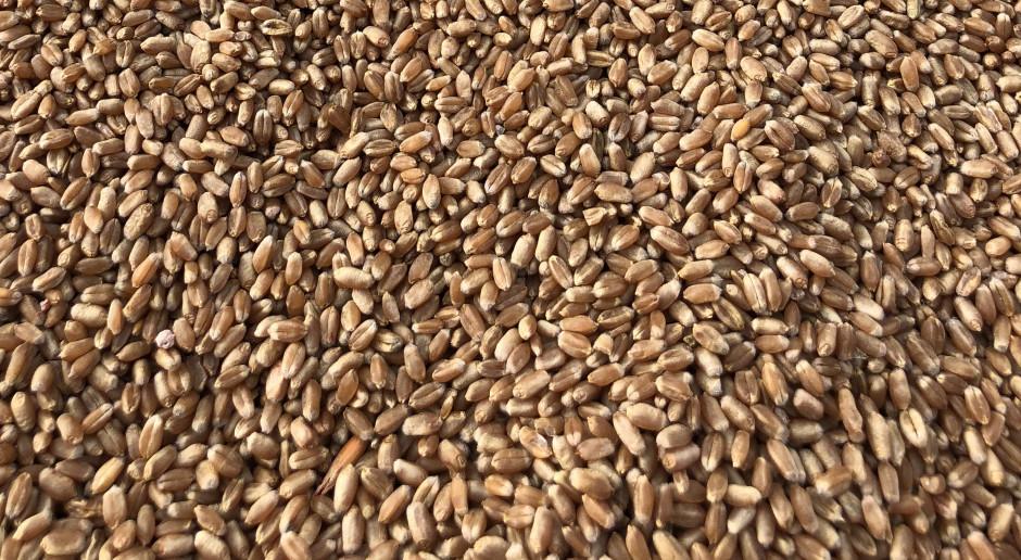 Jakość ziarna tegorocznej pszenicy