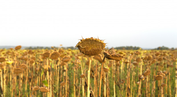 Wojewoda podlaski: Straty w regionie spowodowane suszą - znaczące