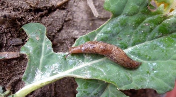 Liczne ślimaki w rzepaku
