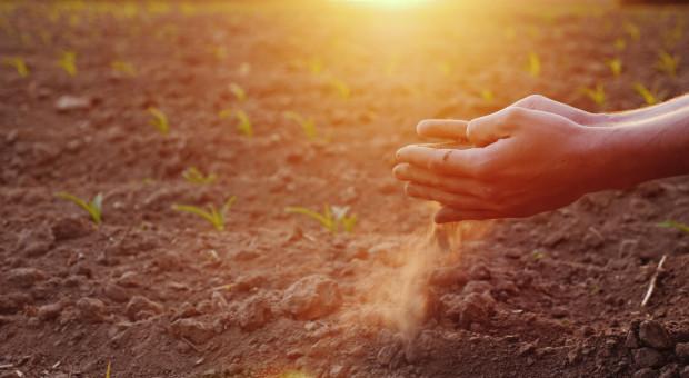 Skupujący zboża mają żniwa – i to niezależne od suszy