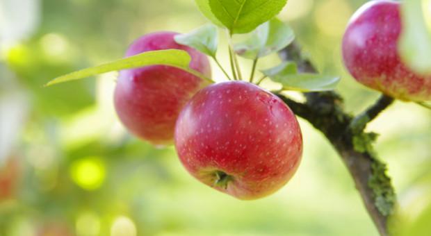 KUPS: Trzeba zróżnicować produkcję jabłek