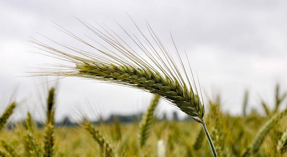 Wydajność odmian pszenżyta ozimego z 2018 r.